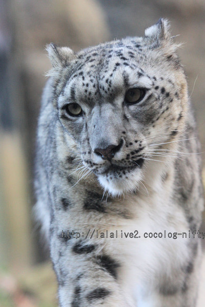 Snowleopard_asahi201601061