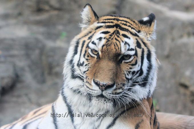 Tiger201601071