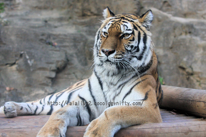 Tiger20160107_2