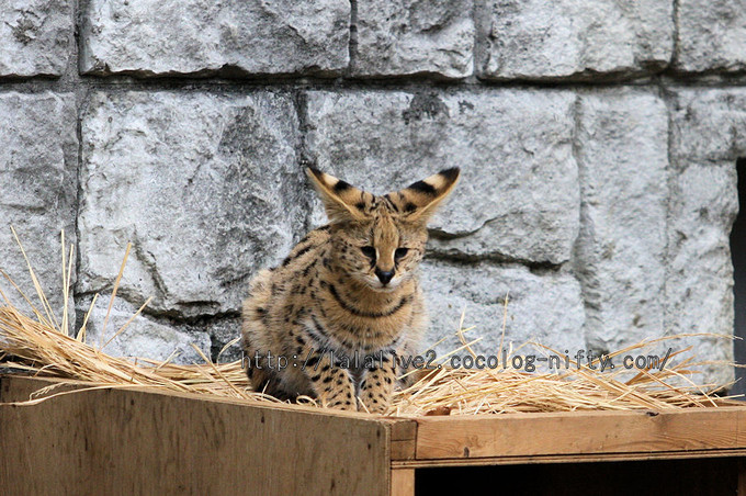 Servalcat201601063