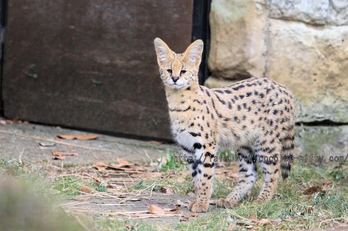 Servalcat201601064