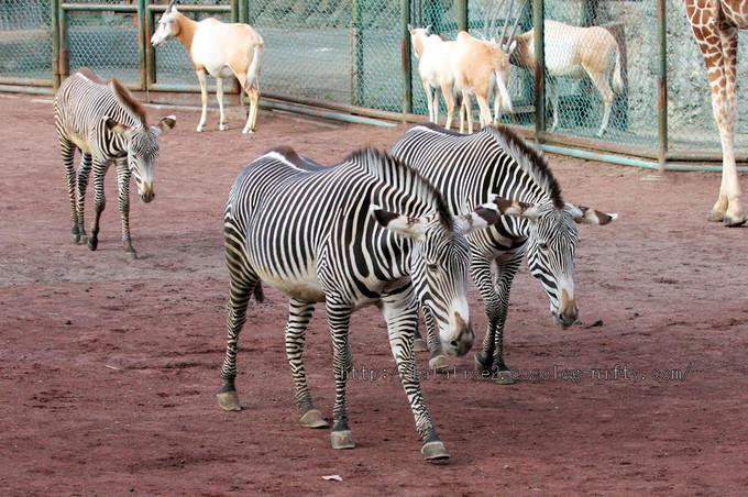 Zebras20160106