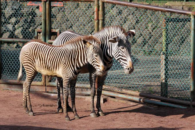 Zebras201601061