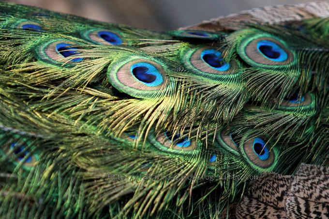 Peacock201601061