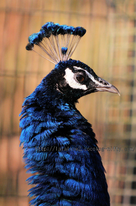 Peacock201601062