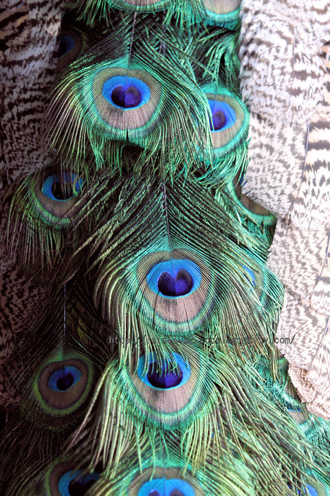 Peacock20160106_3
