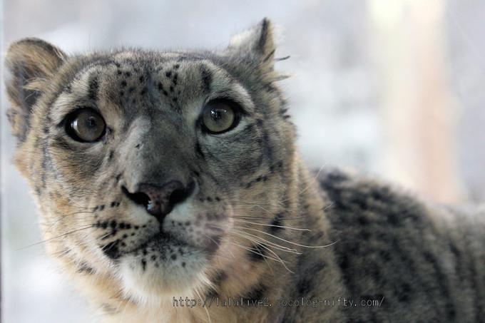 Snowleopard_asahi201601063