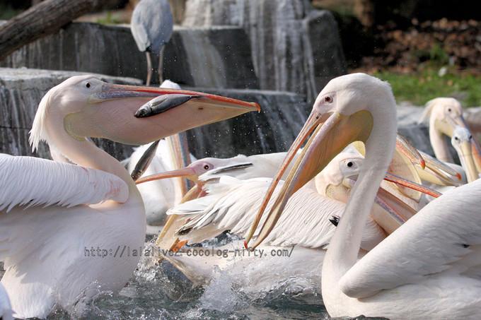 Pelican201601063