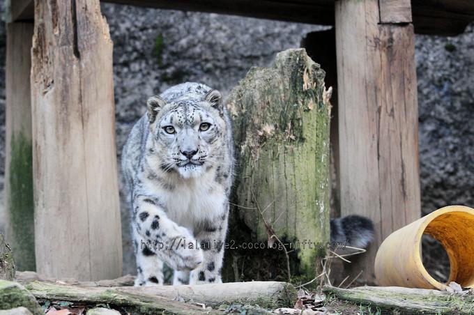 Snowleopard_asahi2016010611