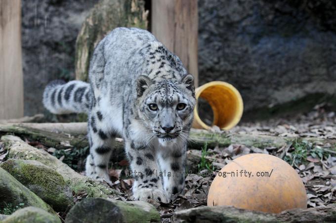Snowleopard_asahi2016010612