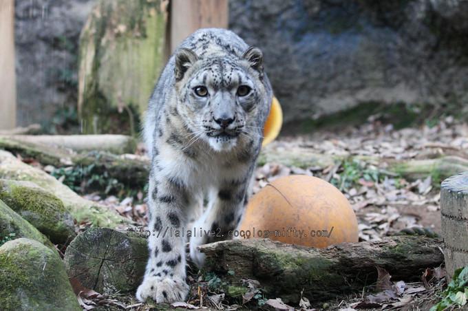 Snowleopard_asahi2016010613