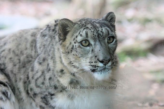 Snowleopard_asahi2016010614