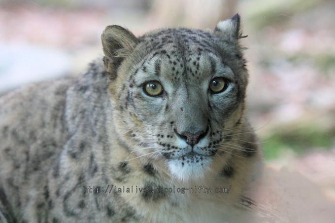 Snowleopard_asahi2016010615