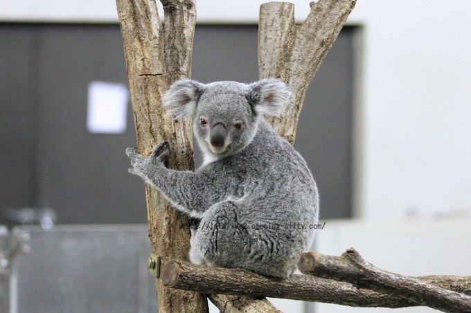 Koala20160215