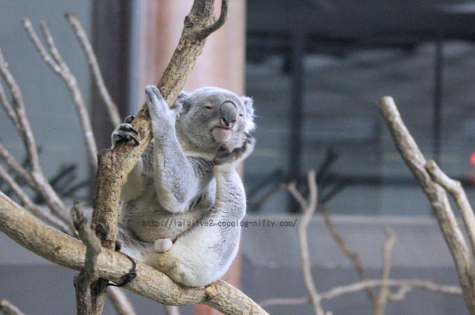 Koala201602151