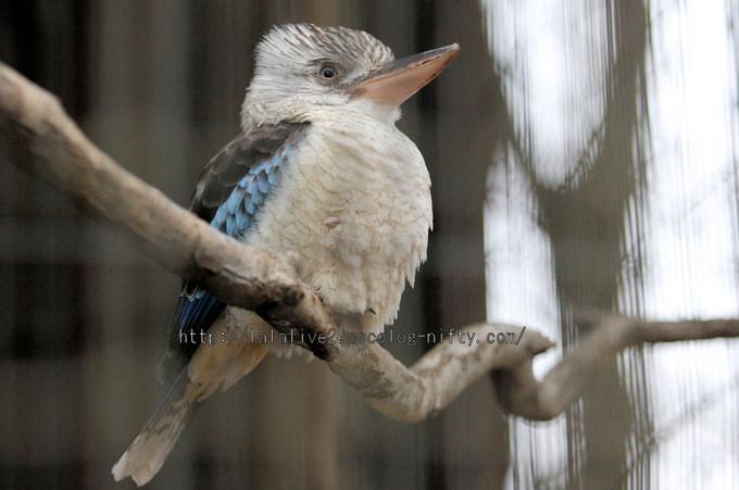 Blue_winged_kookaburra20160215