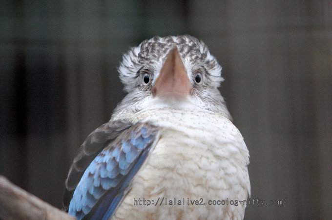 Blue_winged_kookaburra201602154