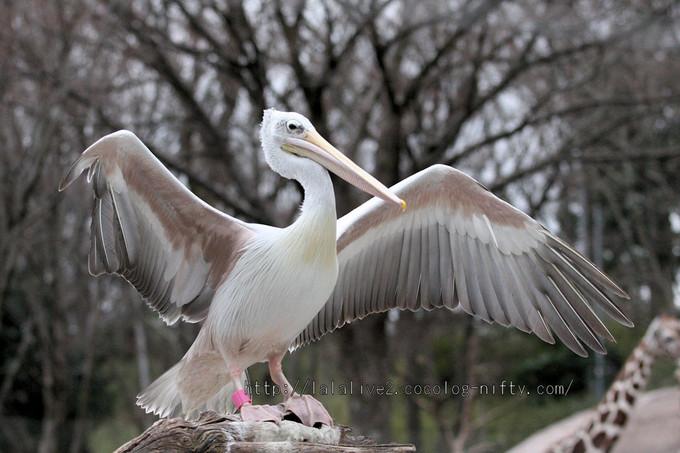 Pelican201602151