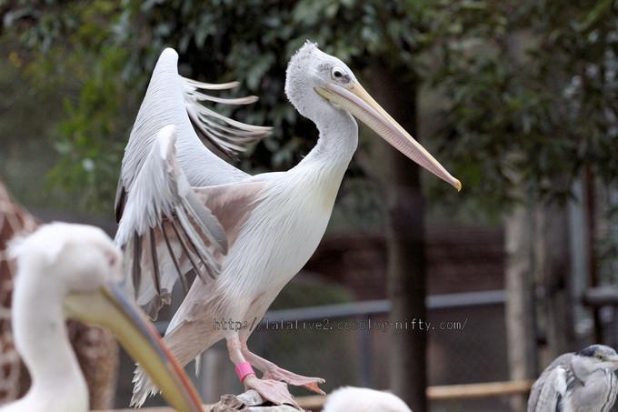Pelican201602152
