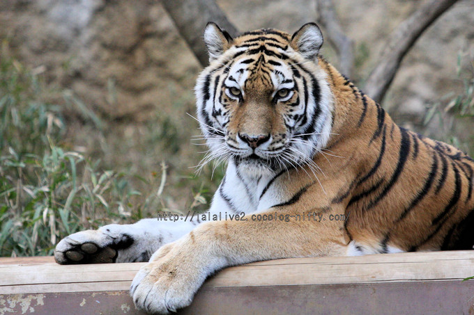 Tiger201602152