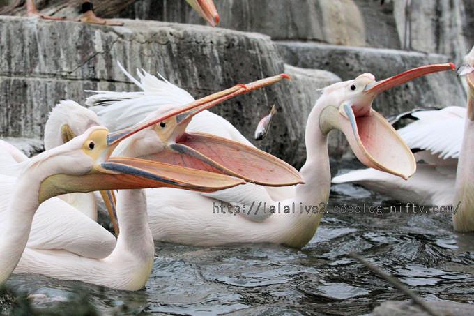 Pelican201602154