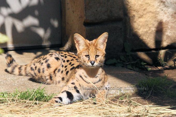 Serval_cat201603153
