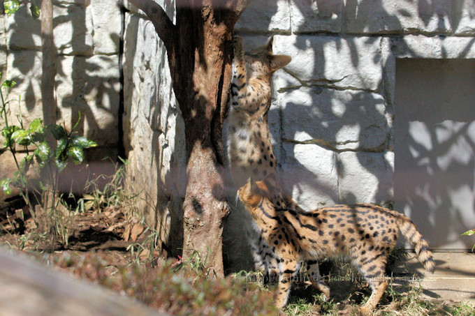 Serval_cat201603154