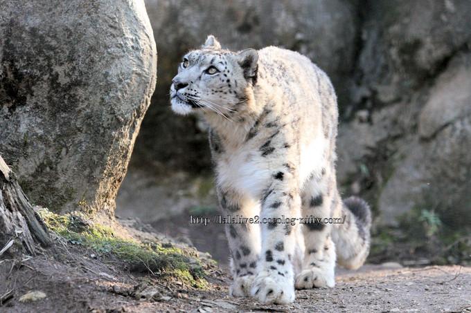 Snowleopard20160315