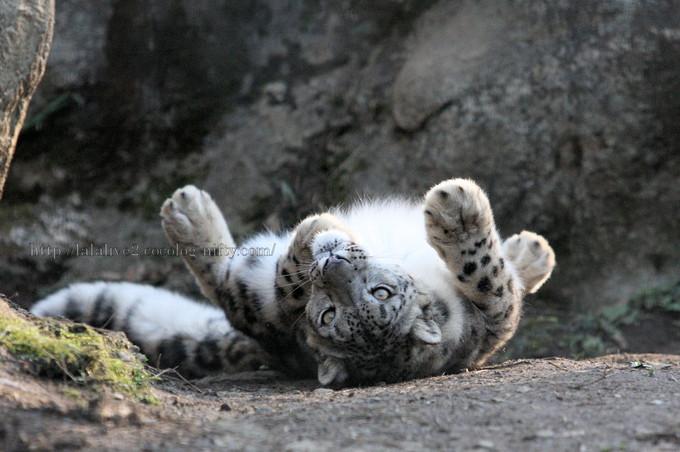 Snowleopard201603153