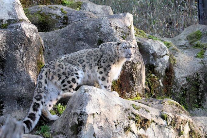 Snowleopard201603155