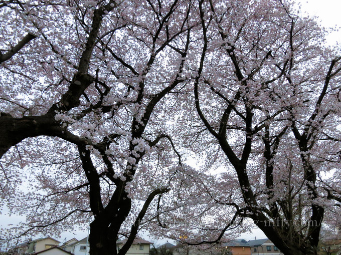 Cherry_blossoms3