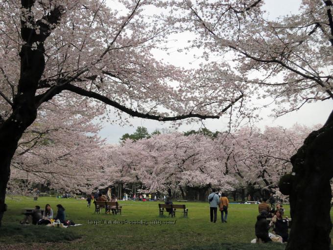 Sakura_koganei20160405