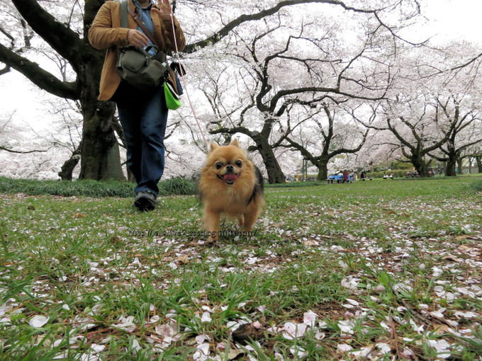 Sakura_koganei201604051