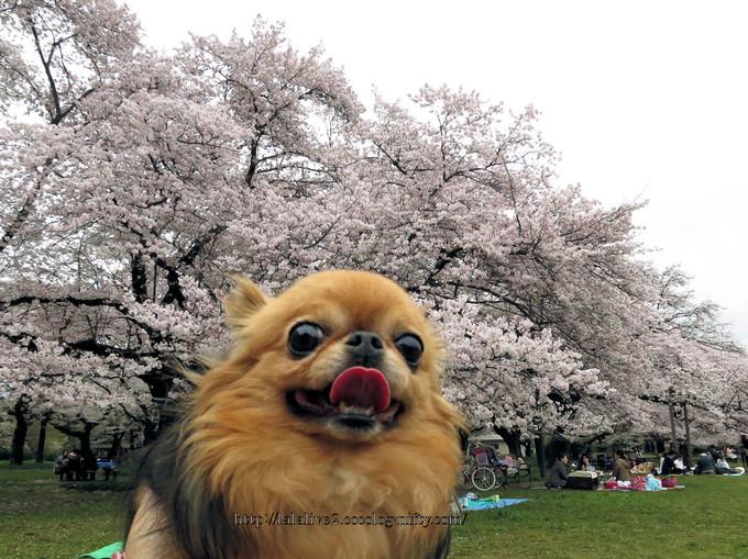 Sakura_koganei201604052