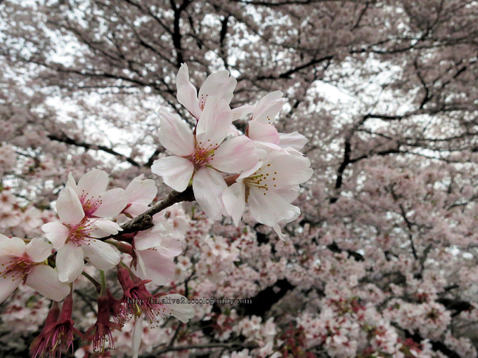 Sakura_koganei201604053