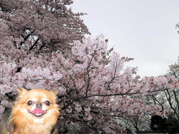 Sakura_koganei201604054