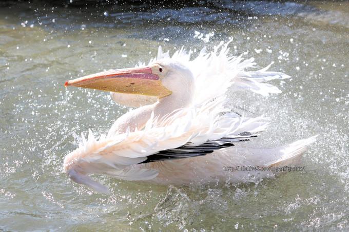 Pelican201603154