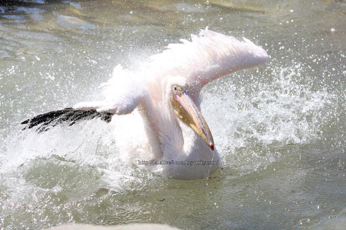 Pelican201603156