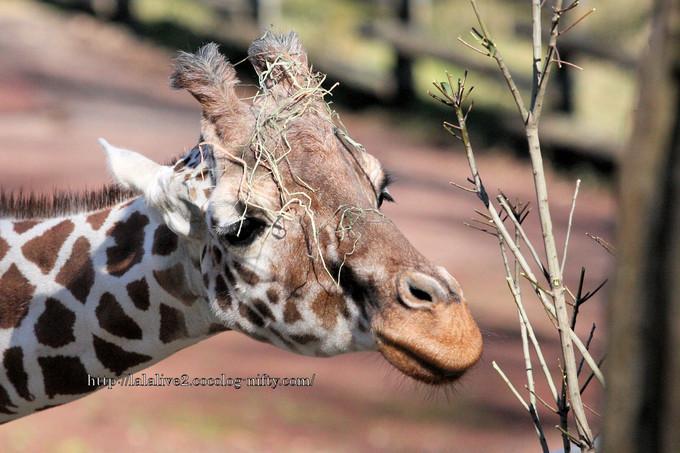 Giraffe20160315