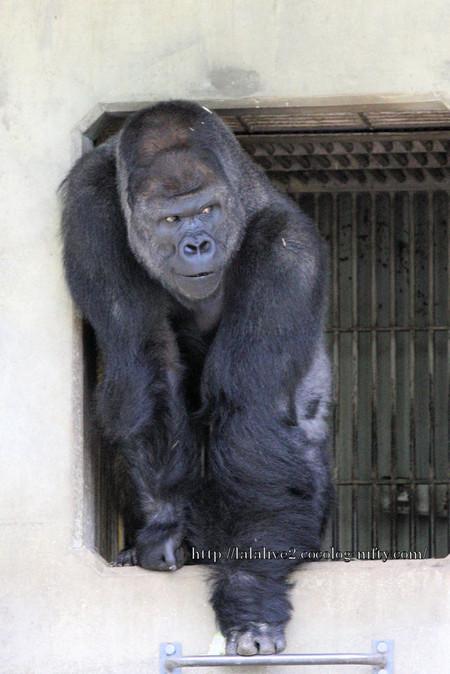 Gorilla20160422