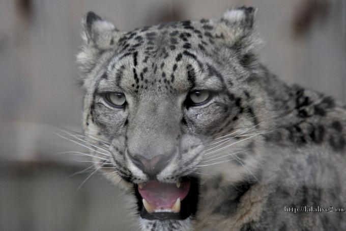 Snowleopard201604221