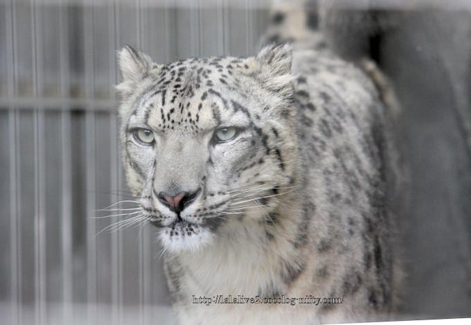 Snowleopard201604222
