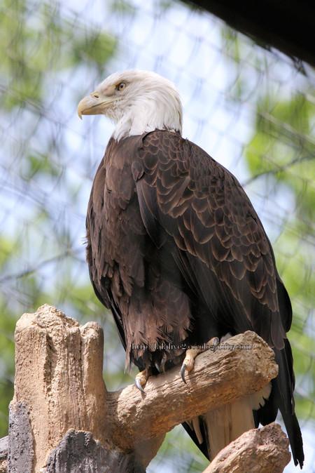 Bald_eagle20160422