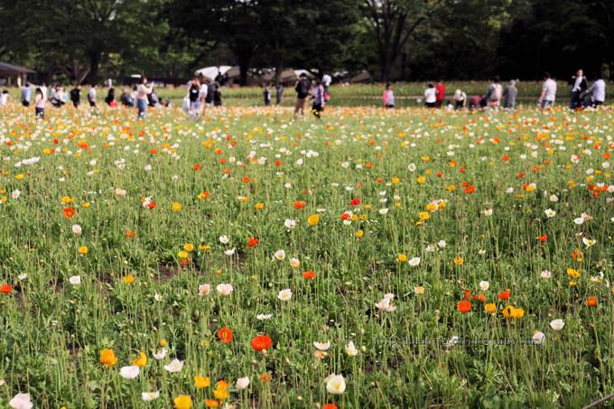 Poppys_field