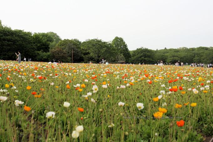 Poppys_field1