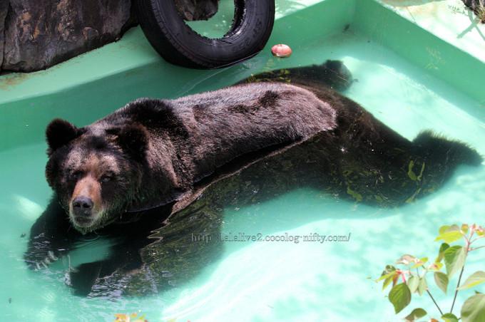 Brown_bear2016041