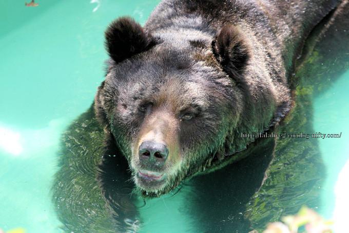 Brown_bear2016042