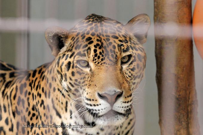 Jaguar2016042