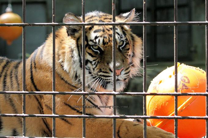 Tiger201604