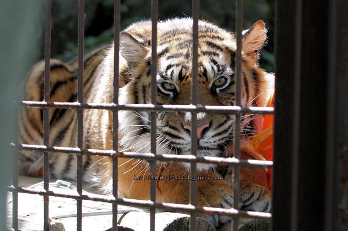 Tiger2016043